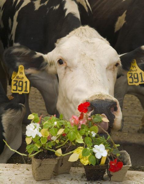 cow pot